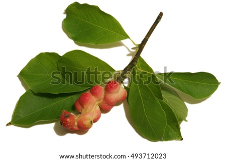 An isolated branch of the Magnolia Cucumbertree during its ripened fruit seed pod stage in the early Autumn months of Ontario, Canada.