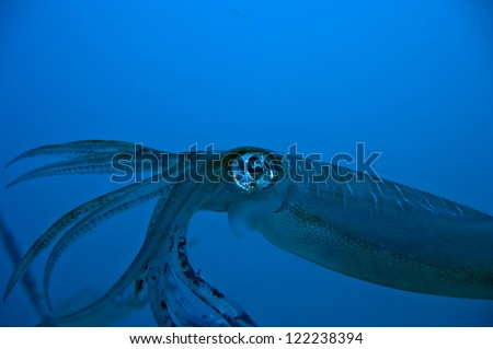 An isolated close up colorful squid cuttlefish looks like 20.000 leagues under the sea - stock photo