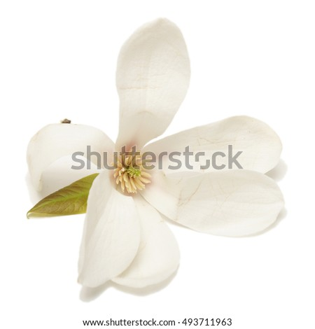 An isolated closeup of a Magnolia Cucumbertree flowering blossom early in the springtime.