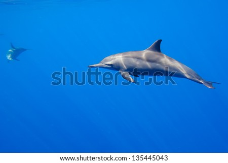 An isolated dolphin underwater