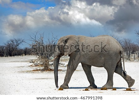 An isolated elephant walking across the dry dusty road in Etosha National park with a blue cloudy sky