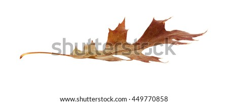 An isolated Fall brown Oak leaf lying on its side.