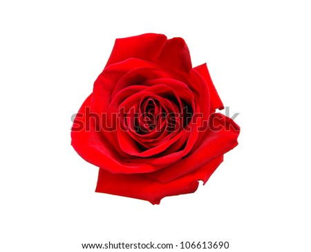 An isolated head red rose - stock photo