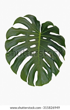 isolated leaf split leaf philodendron monstera stock photo royalty free 315826949 shutterstock. Black Bedroom Furniture Sets. Home Design Ideas