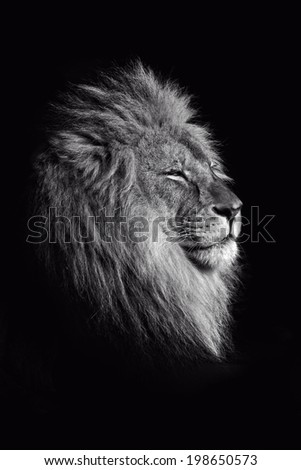 An isolated male lion against a black background