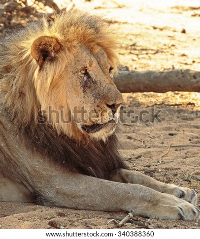 An isolated male lion resting next to a tree - portrait view