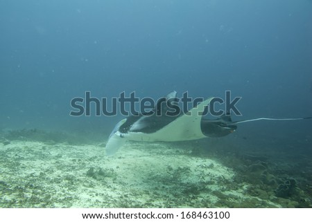 An isolated Manta in the blue sea background - stock photo