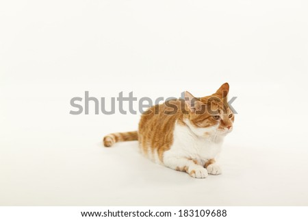 An isolated orange and white tabby cat.