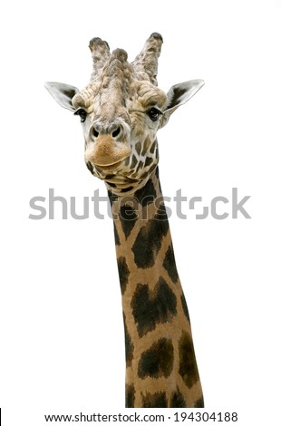 An isolated photo of a giraffe's neck and head