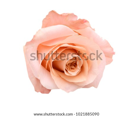 An isolated pink rose head