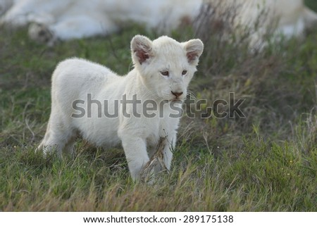 An isolated young white lion cub in this portrait image. - stock photo