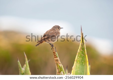 An LBJ or Little Brown Job, as birds that are difficult to identify are known as, at Steenbras Dam pump station in Gordons Bay near Cape Town, South Africa.   - stock photo