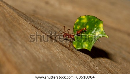 An leaf cutter ant is carrying a leaf
