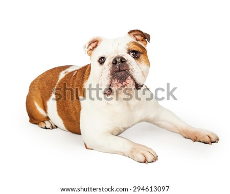 An obedient English Bulldog laying while looking forward.