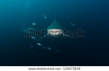 An oceanic Blacktip shark comes right at you - stock photo
