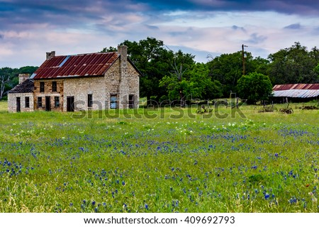 An Old Abandoned Texas Homestead Farmhouse with Old Barn or Shed in a Beautiful Field Full of the Famous Texas Bluebonnet (Lupinus texensis) and Other Various Wildflowers.