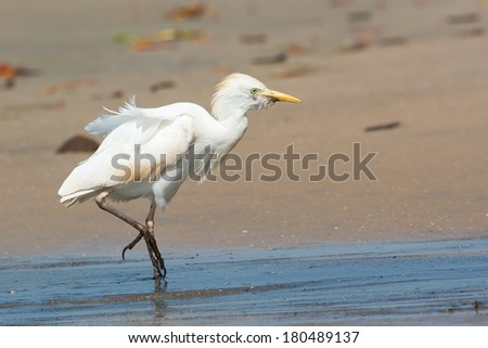 An old Cattle Egret (Bubulcus ibis) walking up the beach on a windy day