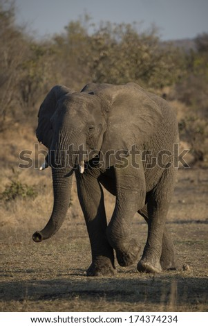 An old Elephant walks past after a drink - stock photo