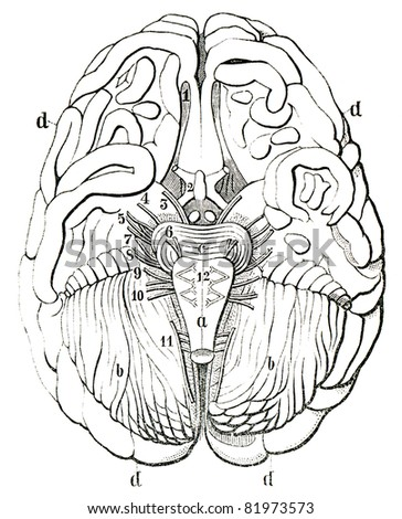 """An old engraving of the human brain. The human brain in section. The book """"Natur und Offenbarung"""" 1861. Volume 7. - stock photo"""
