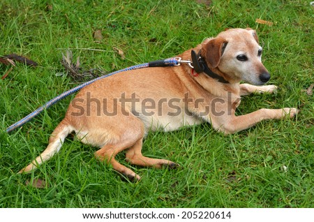 An old feamle Foxhound dog lay on green grass outdoor. - stock photo