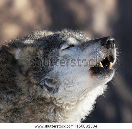 An old howling wolf male in the forest. Dangerous and severe shaggy beast of the northern forest. Wild beauty of the forest dog. - stock photo