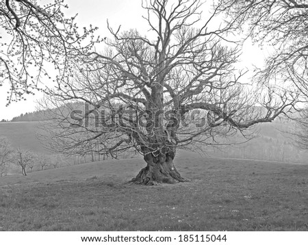 An old knotted tree.  - stock photo
