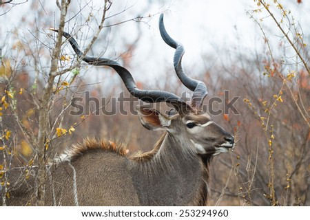 An old kudu bull with impressive horns - stock photo