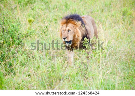 An old lion, Kenya, Africa - stock photo