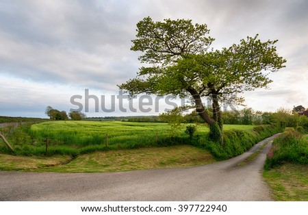 An old Oak tree on a country lane surrounded by barley fields near Bodmin in Cornwall