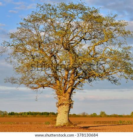 An Old Oak Tree Stands in a Plowed Farmland Field Bathed in Warm Evening Sunlight - stock photo