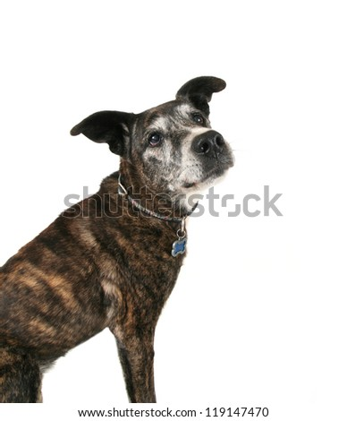an old pit bull - stock photo