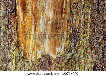 an old scar healing on a spruce trunk - stock photo