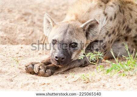 An old wild Spotted Hyena grooming itself in thick bush