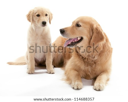 An older and younger Golden Retriever sitting on the floor