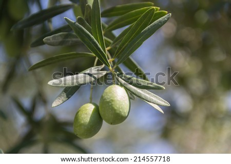 An olive branch from an olive tree - stock photo