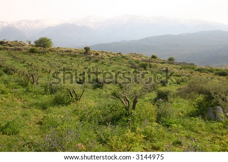 An olive grove in mountains, Aptera, Crete - stock photo