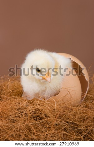 An one day old chick placed in the egg shell, where it hatched before. - stock photo