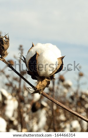 An opened cotton boll in a rural southern cotton field. - stock photo