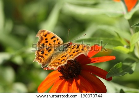 An orange and black butterfly sitting on a bright orange flower. - stock photo