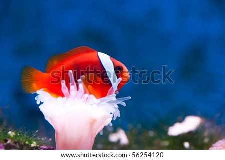an orange anemone-fish between a white anemone - stock photo