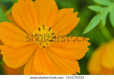 An orange Cosmos flower (Cosmos Bipinnatus) blooming during early autumn.