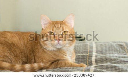 An orange domestic house cat lays on it's owners bed.