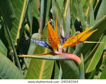 An orange flowering strelitzia plant also called bird of paradise  - stock photo