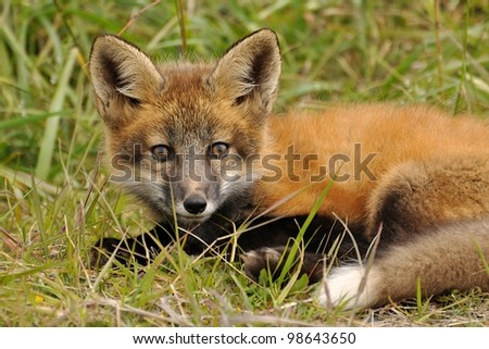 An orange fox kit rests in the grass. - stock photo