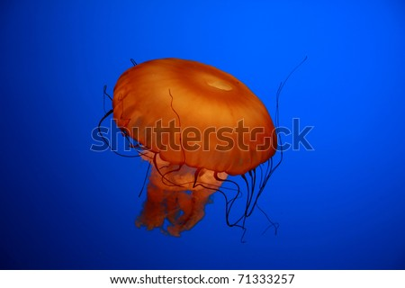 An orange jellyfish against a blue background