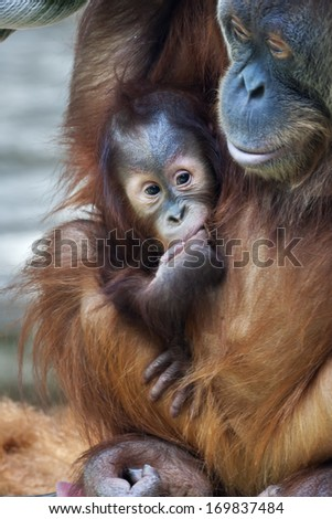An orangutan baby under mother protection. Careless childhood of the great ape kid in captive. The monkey family with shaggy orange fur and human like expression. - stock photo