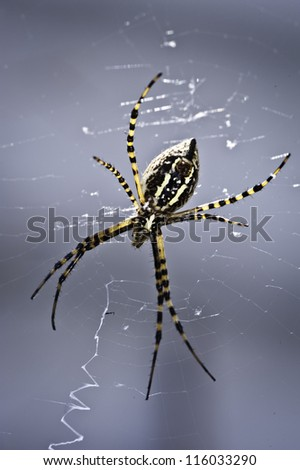 An Orb Spider sits in it's web on a sunny day - stock photo