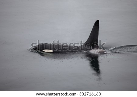 An orca whale reflected in the calm water as it swims at the surface in Alaska