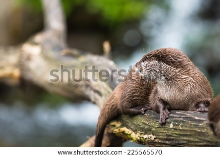 An oriental small-clawed otter / Aonyx cinerea / Asian small-clawed otter - stock photo