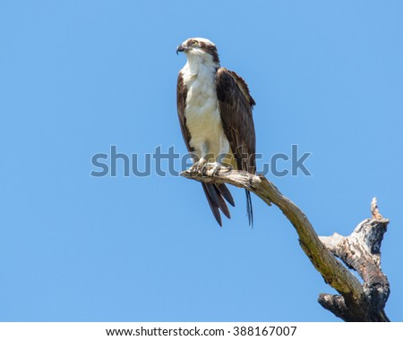 An Osprey, also known as a Sea Hawk, perches on a tree limb not far from its nest, on Florida's gulf coast.